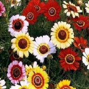 Chrysanthemum carinatum - Merry Mixed - 100 seeds - 700 seeds